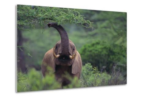 African Elephant Grazing on Tree-DLILLC-Metal Print