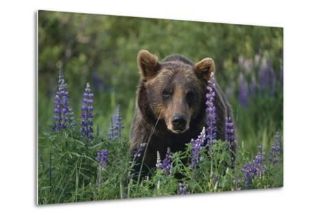 Captive: Brown Bear Walking Amongst Lupine Wildflowers at the Alaska Wildlife Conservation Center-Design Pics Inc-Metal Print