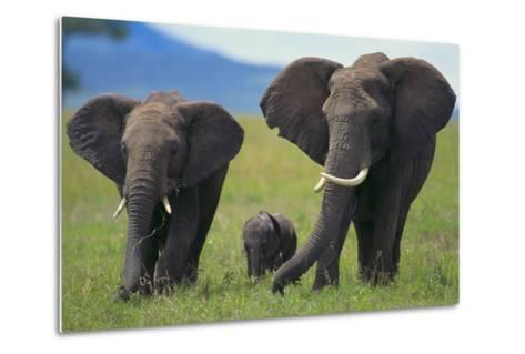 African Elephant Calf Walking between Adults-DLILLC-Metal Print