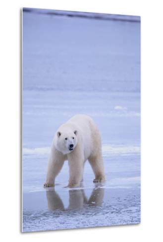 Polar Bear on Ice-DLILLC-Metal Print