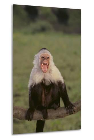 White-Faced Capuchin Baring Teeth-DLILLC-Metal Print
