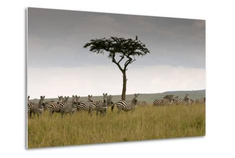 A Herd of Plains Zebras, Equus Quagga, Gathered Near an Acacia Tree-Sergio Pitamitz-Metal Print