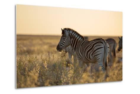 Plains Zebras, Equus Quagga, Stand in Tall Grassland at Sunset-Alex Saberi-Metal Print