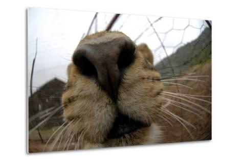 Close Up of a Lioness' Nose and Mouth, South Africa-Keith Ladzinski-Metal Print