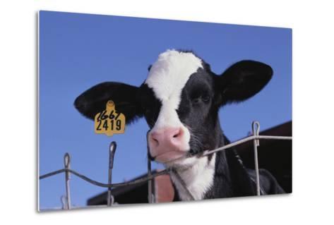 Holstein Calf with Eartag-DLILLC-Metal Print