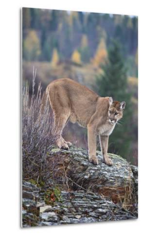 Mountain Lion-DLILLC-Metal Print