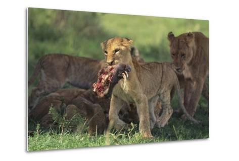 Young Lion Carrying Warthog Head-DLILLC-Metal Print