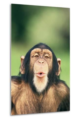 Chimpanzee Puckering its Lips-DLILLC-Metal Print