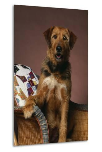 Airedale Mix Sitting on the Furniture-DLILLC-Metal Print