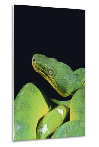 Emerald Tree Boa-DLILLC-Metal Print