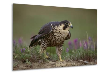 Peregrine Falcon in Grass-DLILLC-Metal Print