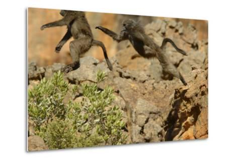 Two Baboons Leaping in Cederberg Wilderness Area, South Africa-Keith Ladzinski-Metal Print