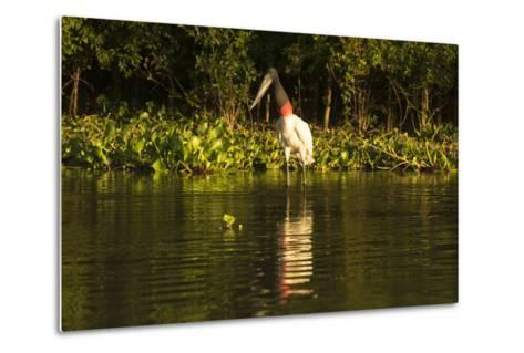 Jabiru Stork-Joe McDonald-Metal Print