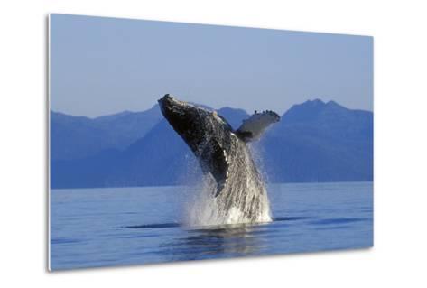 Humpback Whale Breaching in Inside Passage Se Ak Summer-Design Pics Inc-Metal Print