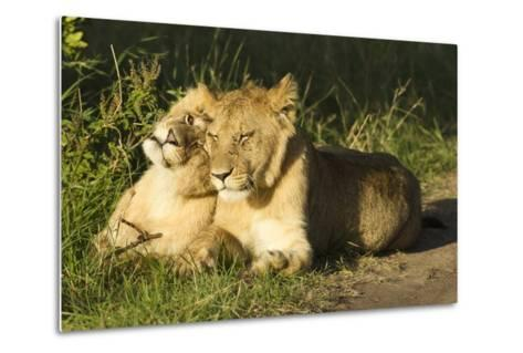 African Lion Cubs-Mary Ann McDonald-Metal Print