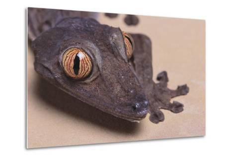 Madagascar Leaf-Tail Gecko-DLILLC-Metal Print