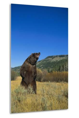 Grizzly Roaring in Mountain Meadow-DLILLC-Metal Print