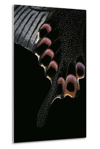 Papilio Arcturus (Blue Peacock) - Wings Detail-Paul Starosta-Metal Print