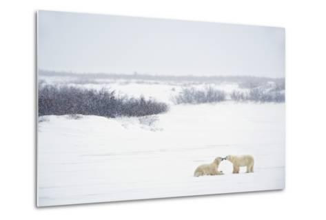 Two Polar Bears (Ursus Maritimus) Showing Affection by Kissing Each Other; Churchill-Design Pics Inc-Metal Print