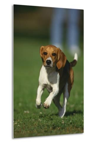 Beagle Running in Grass-DLILLC-Metal Print