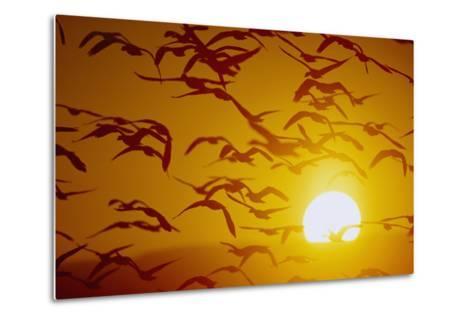 Snow Geese in Flight at Sunset-DLILLC-Metal Print