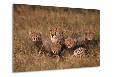 Cheetah Mother and Cubs-DLILLC-Metal Print