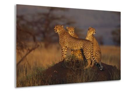 Cheetahs on Mound-DLILLC-Metal Print