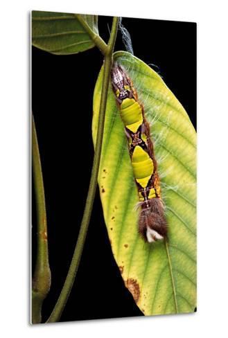 Morpho Menelaus (Menelaus Blue Morpho) - Caterpillar-Paul Starosta-Metal Print