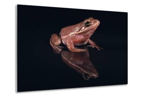 Gray Tree Frog-DLILLC-Metal Print