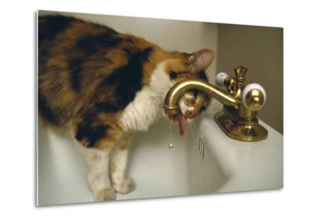 Calico Cat Drinking from Faucet-DLILLC-Metal Print