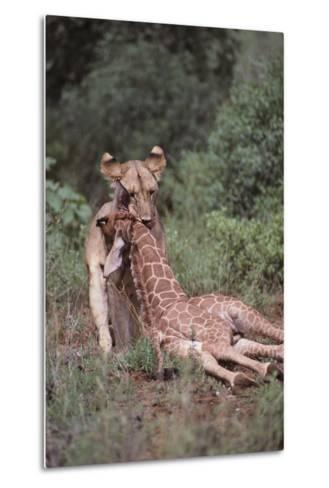 Lion Dragging Dead Giraffe Calf-DLILLC-Metal Print