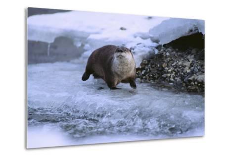 River Otter on Icy Riverbank-DLILLC-Metal Print