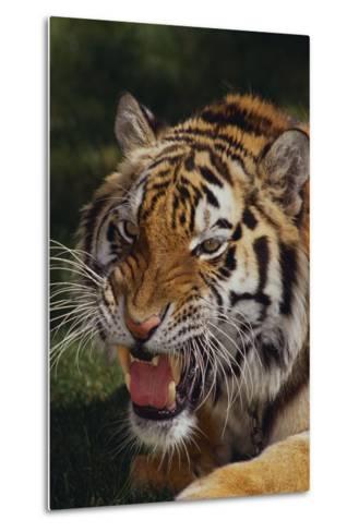 Bengal Tiger Snarling-DLILLC-Metal Print