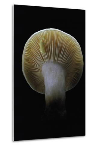Lactarius Decipiens (Milk-Cap)-Paul Starosta-Metal Print