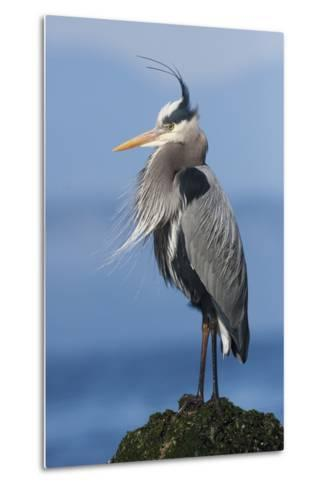 Great Blue Heron, Attempting to Preen on a Windy Day-Ken Archer-Metal Print