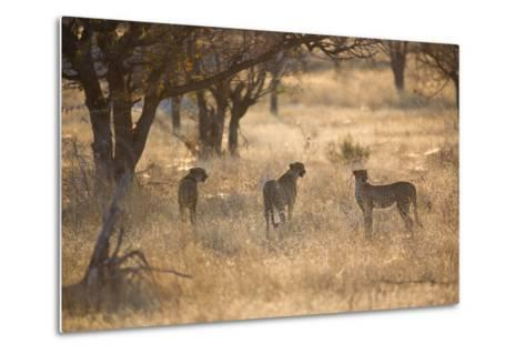 A Group of Cheetahs, Acinonyx Jubatus, on the Lookout for a Nearby Leopard at Sunset-Alex Saberi-Metal Print