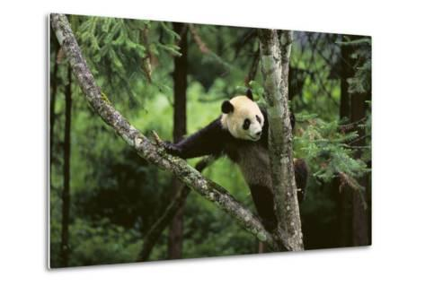 Giant Panda in the Forest-DLILLC-Metal Print
