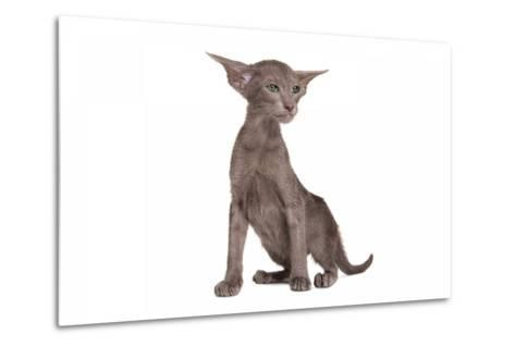 Oriental Cat-Fabio Petroni-Metal Print