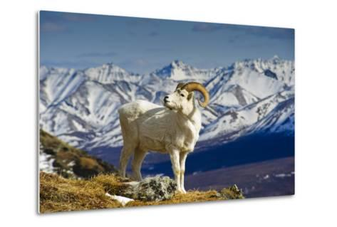 A Young Dall Sheep Ram Standing on Mount Margaret with the Alaska Range in the Background-Design Pics Inc-Metal Print