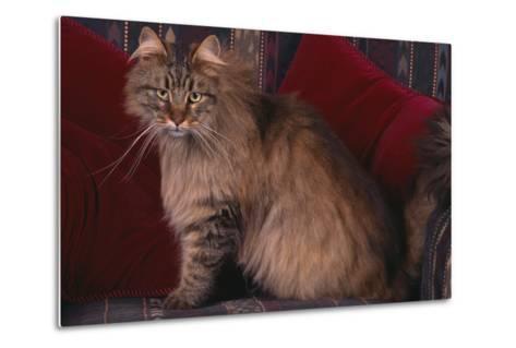 Maine Coon Cat on Chair-DLILLC-Metal Print