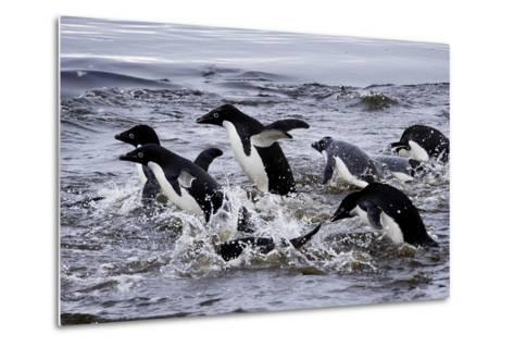 Adelie Penguins on Devil's Island in the Weddell Sea of Antarctica-Jim Richardson-Metal Print