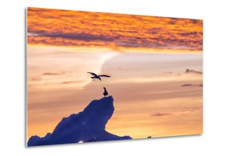 Gulls on Glacial Ice at Sunset-Rich Reid-Metal Print