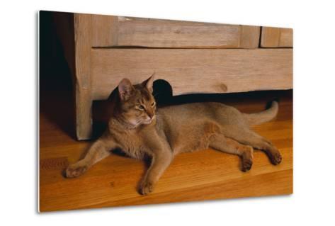 Abyssinian Cat Lounging on Floor-DLILLC-Metal Print