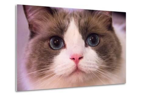 Close Up Portrait of a Blue-Eyed Cat Looking into the Camera-Stephen St^ John-Metal Print