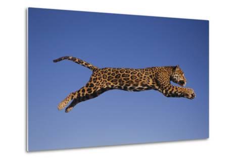 Jaguar Jumping through Sky-DLILLC-Metal Print