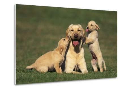 Yellow Lab Mother and Puppies-DLILLC-Metal Print