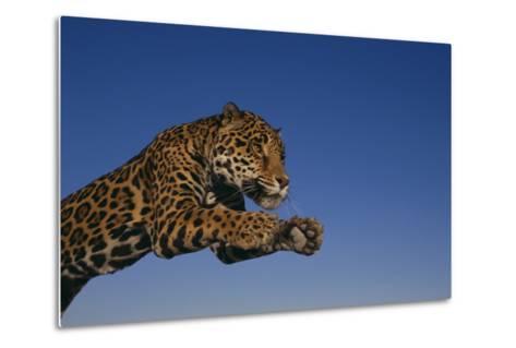 Leaping Jaguar-DLILLC-Metal Print