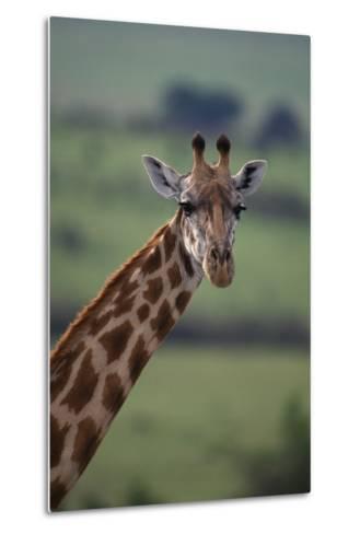 Reticulated Giraffe-DLILLC-Metal Print