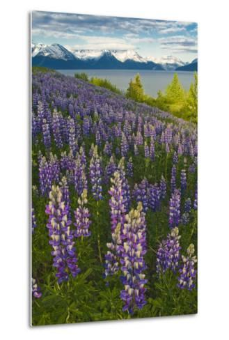 Scenic View of Turnagain Arm and Chugach Mountains Near Bird Point with Lupine Meadow-Design Pics Inc-Metal Print