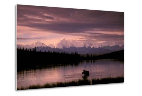 Alaska Range Moose Bull Wonder Lake Denali Natl Park Interior Alaska Summer Trees Snow-Design Pics Inc-Metal Print